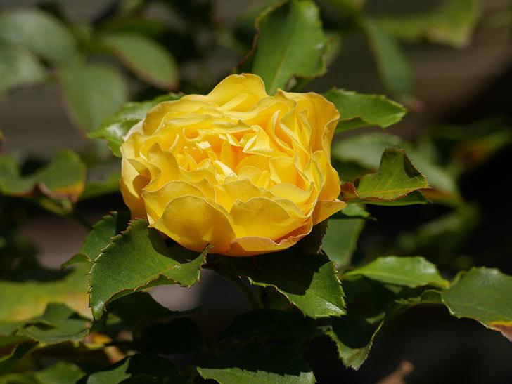 つるゴールドバニー(Gold Bunny Climbing)の秋花がまた咲いた。ツルバラ。2020年-033.jpg