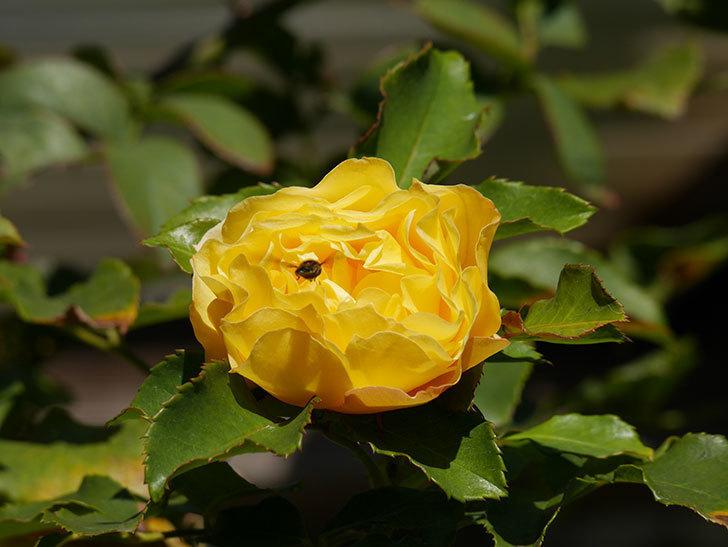 つるゴールドバニー(Gold Bunny Climbing)の秋花がまた咲いた。ツルバラ。2020年-034.jpg