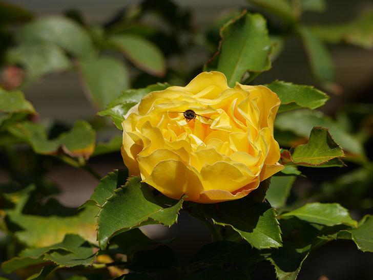 つるゴールドバニー(Gold Bunny Climbing)の秋花がまた咲いた。ツルバラ。2020年-035.jpg