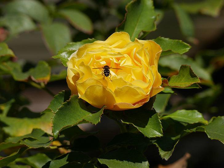 つるゴールドバニー(Gold Bunny Climbing)の秋花がまた咲いた。ツルバラ。2020年-036.jpg