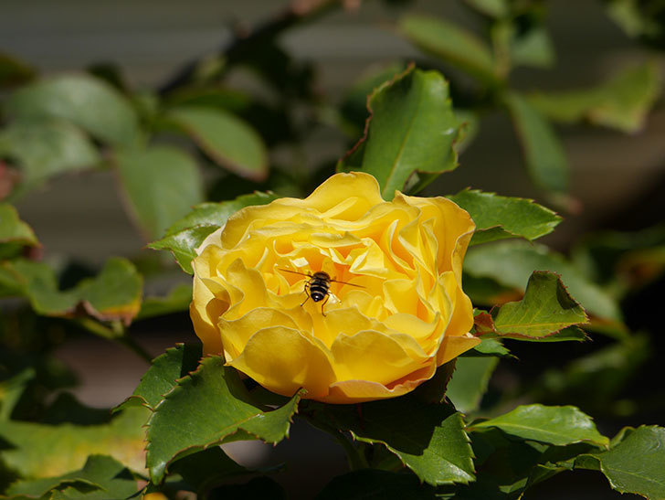 つるゴールドバニー(Gold Bunny Climbing)の秋花がまた咲いた。ツルバラ。2020年-037.jpg