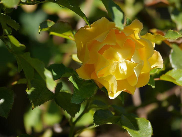 つるゴールドバニー(Gold Bunny Climbing)の秋花がまた咲いた。ツルバラ。2020年-038.jpg