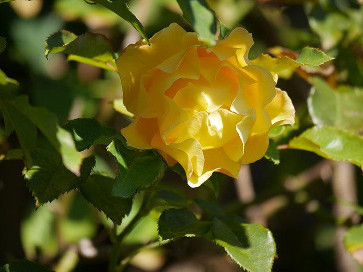 つるゴールドバニー(Gold Bunny Climbing)の秋花がまた咲いた。ツルバラ。2020年-039.jpg