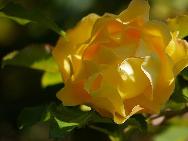 つるゴールドバニー(Gold Bunny Climbing)の秋花がまた咲いた。ツルバラ。2020年-040.jpg