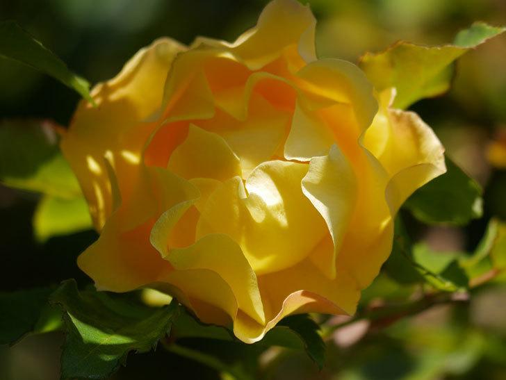 つるゴールドバニー(Gold Bunny Climbing)の秋花がまた咲いた。ツルバラ。2020年-041.jpg