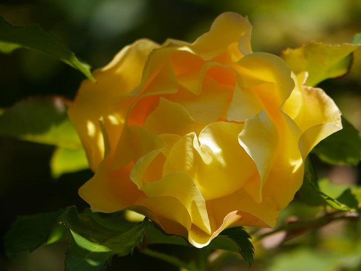 つるゴールドバニー(Gold Bunny Climbing)の秋花がまた咲いた。ツルバラ。2020年-042.jpg