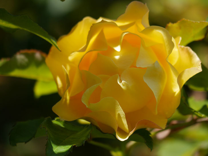 つるゴールドバニー(Gold Bunny Climbing)の秋花がまた咲いた。ツルバラ。2020年-043.jpg