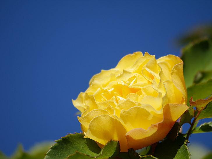 つるゴールドバニー(Gold Bunny Climbing)の秋花がまた咲いた。ツルバラ。2020年-044.jpg