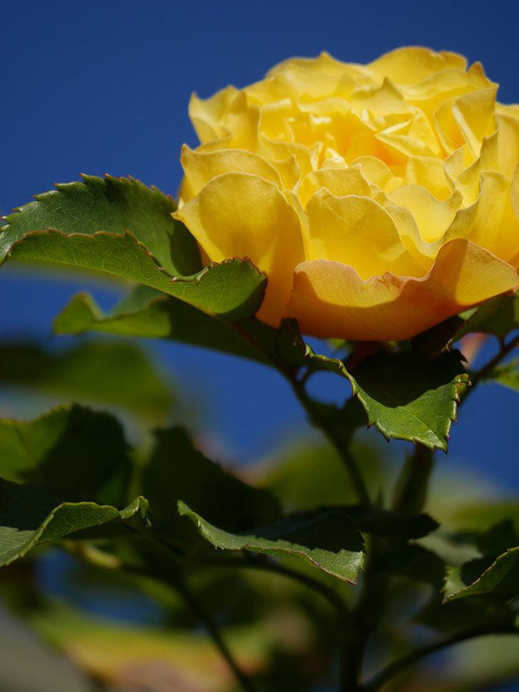 つるゴールドバニー(Gold Bunny Climbing)の秋花がまた咲いた。ツルバラ。2020年-045.jpg