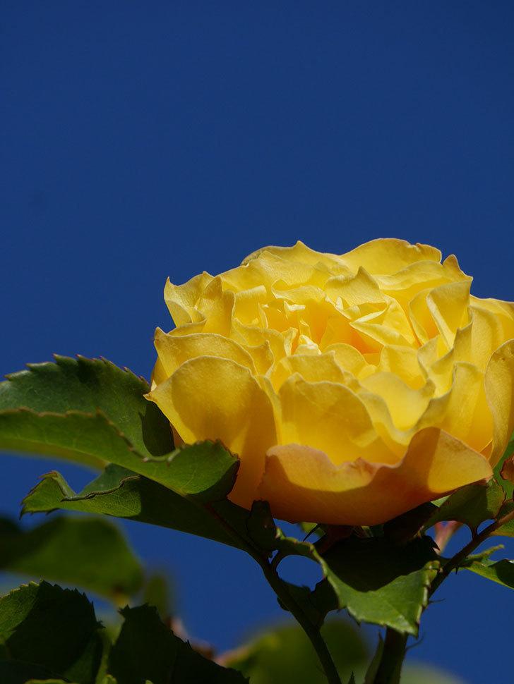つるゴールドバニー(Gold Bunny Climbing)の秋花がまた咲いた。ツルバラ。2020年-046.jpg