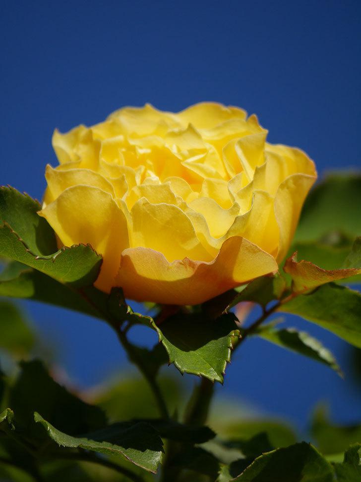つるゴールドバニー(Gold Bunny Climbing)の秋花がまた咲いた。ツルバラ。2020年-047.jpg
