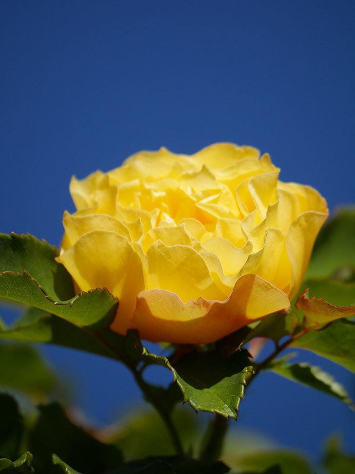 つるゴールドバニー(Gold Bunny Climbing)の秋花がまた咲いた。ツルバラ。2020年-048.jpg
