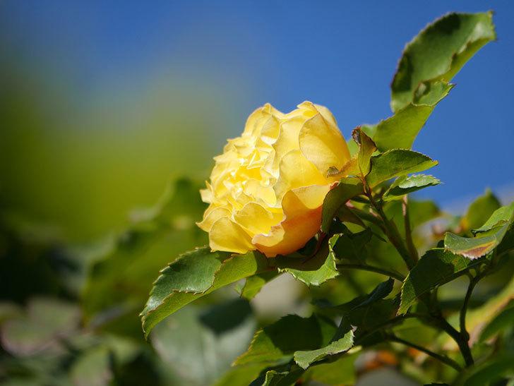 つるゴールドバニー(Gold Bunny Climbing)の秋花がまた咲いた。ツルバラ。2020年-049.jpg