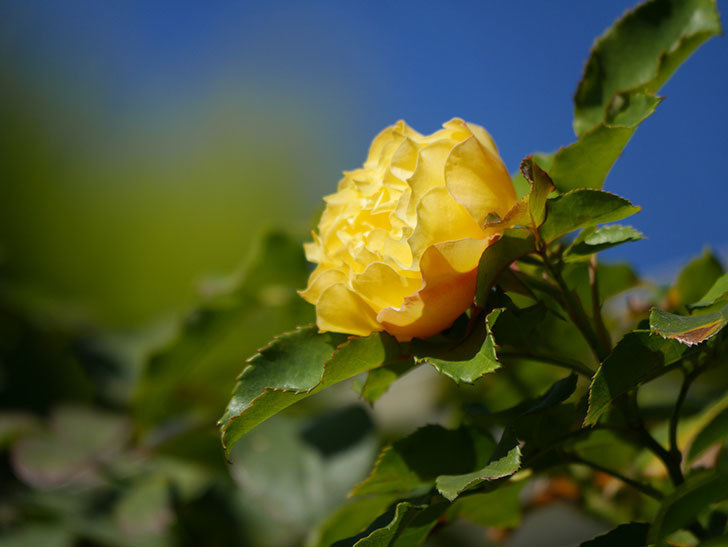 つるゴールドバニー(Gold Bunny Climbing)の秋花がまた咲いた。ツルバラ。2020年-050.jpg