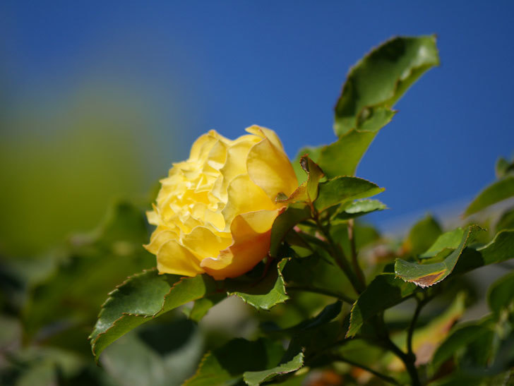 つるゴールドバニー(Gold Bunny Climbing)の秋花がまた咲いた。ツルバラ。2020年-051.jpg
