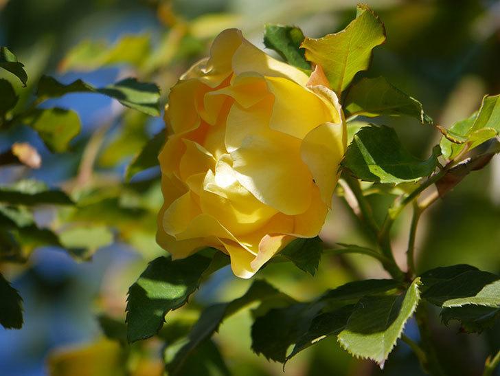 つるゴールドバニー(Gold Bunny Climbing)の秋花がまた咲いた。ツルバラ。2020年-052.jpg