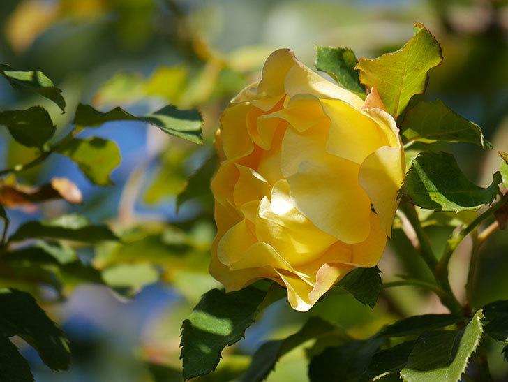 つるゴールドバニー(Gold Bunny Climbing)の秋花がまた咲いた。ツルバラ。2020年-053.jpg