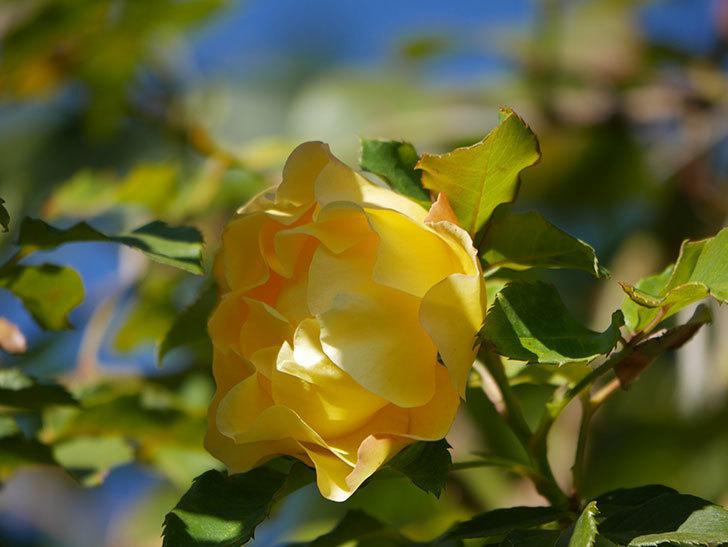 つるゴールドバニー(Gold Bunny Climbing)の秋花がまた咲いた。ツルバラ。2020年-054.jpg
