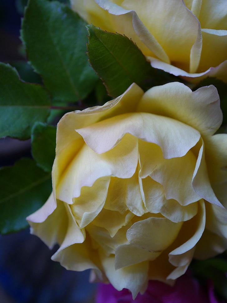 つるゴールドバニー(Gold Bunny Climbing)の秋花がまた咲いた。ツルバラ。2020年-055.jpg