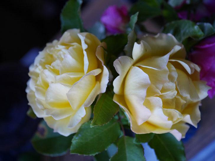 つるゴールドバニー(Gold Bunny Climbing)の秋花がまた咲いた。ツルバラ。2020年-056.jpg