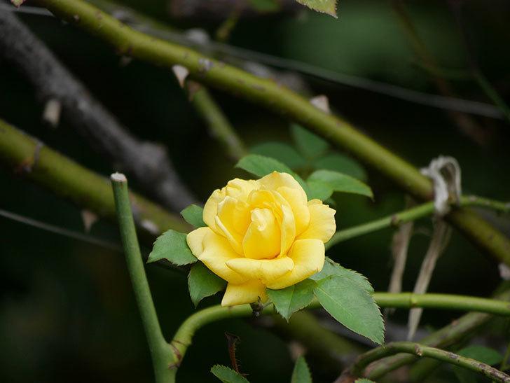 つるゴールドバニー(Gold Bunny Climbing)の秋花が咲いた。ツルバラ。2020年-002.jpg