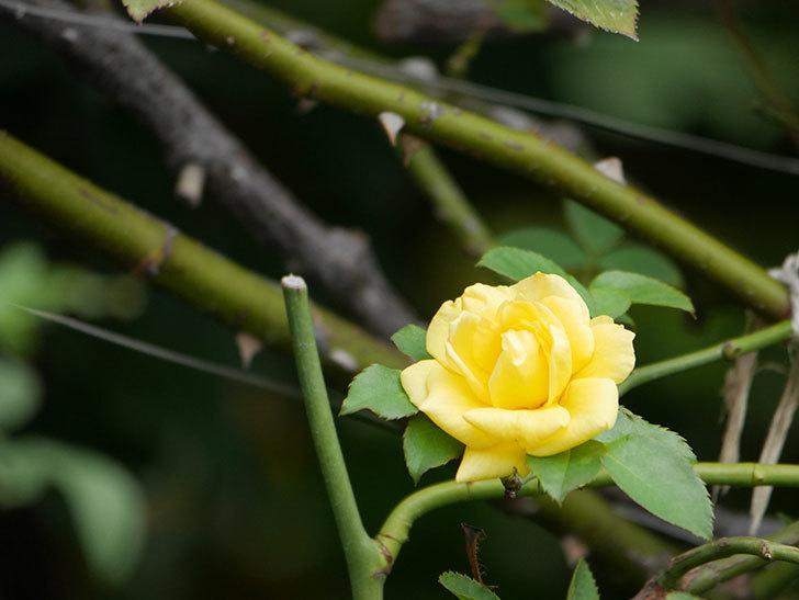 つるゴールドバニー(Gold Bunny Climbing)の秋花が咲いた。ツルバラ。2020年-003.jpg