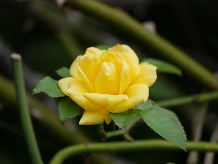 つるゴールドバニー(Gold Bunny Climbing)の秋花が咲いた。ツルバラ。2020年-004.jpg