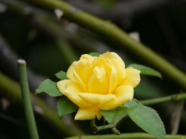 つるゴールドバニー(Gold Bunny Climbing)の秋花が咲いた。ツルバラ。2020年-005.jpg