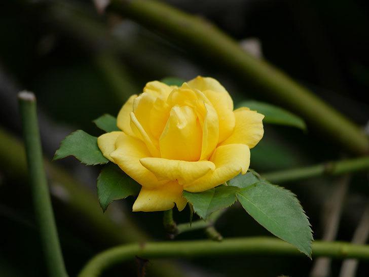 つるゴールドバニー(Gold Bunny Climbing)の秋花が咲いた。ツルバラ。2020年-006.jpg