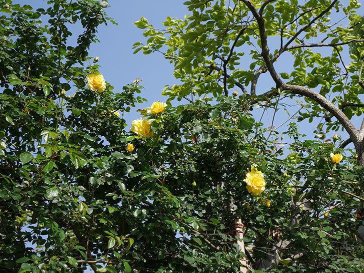 つるゴールドバニー(Gold Bunny Climbing)の花がたくさん咲いた。ツルバラ。2021年-001.jpg
