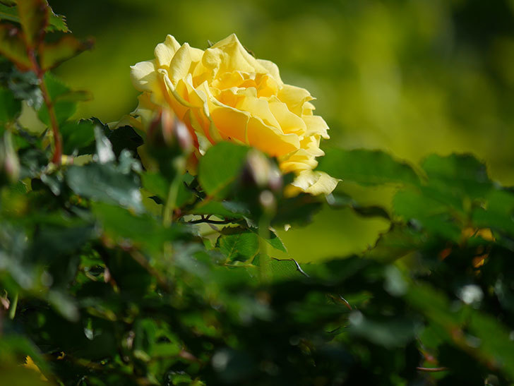 つるゴールドバニー(Gold Bunny Climbing)の花がたくさん咲いた。ツルバラ。2021年-002.jpg