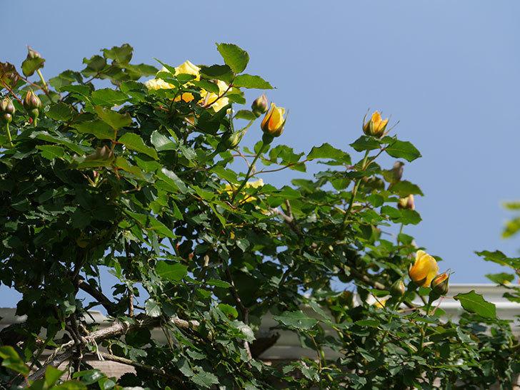 つるゴールドバニー(Gold Bunny Climbing)の花がたくさん咲いた。ツルバラ。2021年-003.jpg
