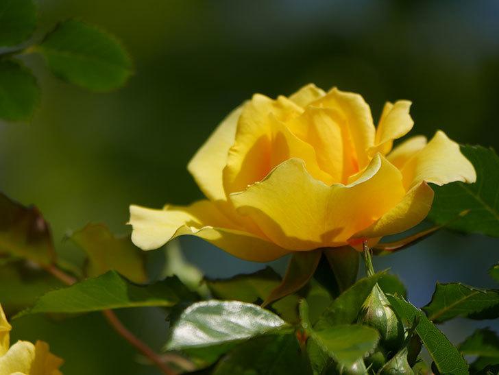 つるゴールドバニー(Gold Bunny Climbing)の花がたくさん咲いた。ツルバラ。2021年-005.jpg