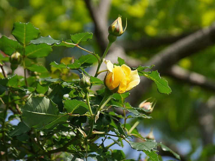 つるゴールドバニー(Gold Bunny Climbing)の花がたくさん咲いた。ツルバラ。2021年-006.jpg