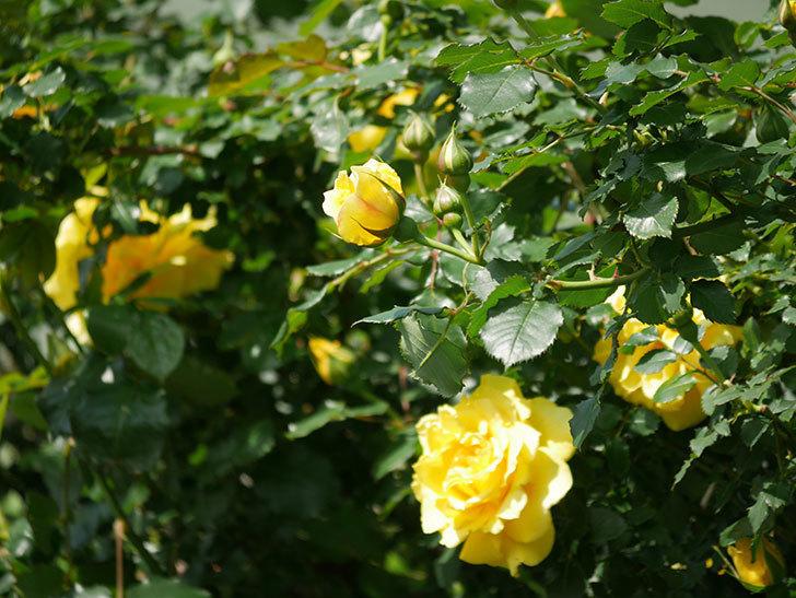 つるゴールドバニー(Gold Bunny Climbing)の花がたくさん咲いた。ツルバラ。2021年-007.jpg