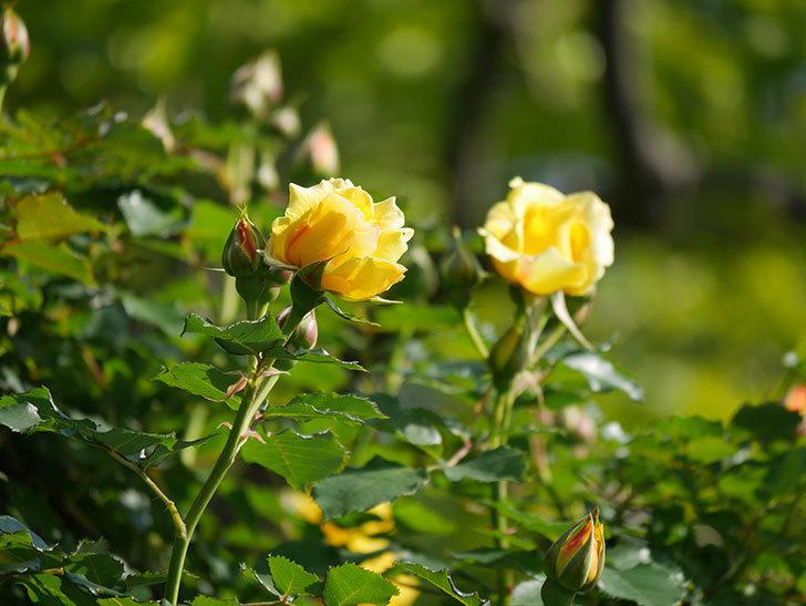 つるゴールドバニー(Gold Bunny Climbing)の花がたくさん咲いた。ツルバラ。2021年-008.jpg