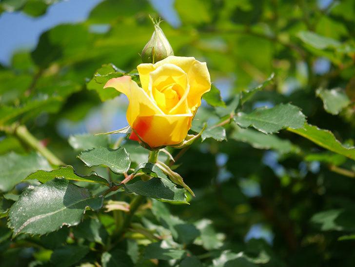 つるゴールドバニー(Gold Bunny Climbing)の花がたくさん咲いた。ツルバラ。2021年-009.jpg