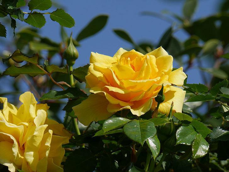 つるゴールドバニー(Gold Bunny Climbing)の花がたくさん咲いた。ツルバラ。2021年-012.jpg