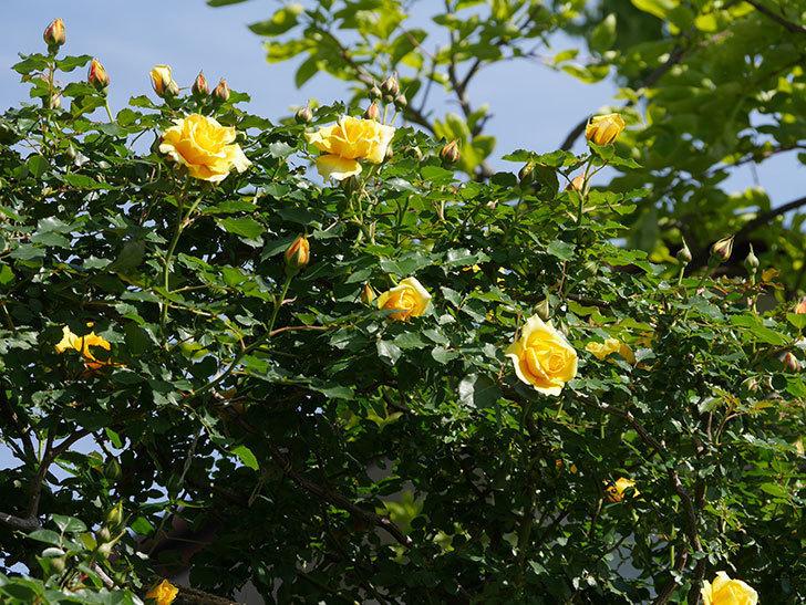 つるゴールドバニー(Gold Bunny Climbing)の花がたくさん咲いた。ツルバラ。2021年-013.jpg