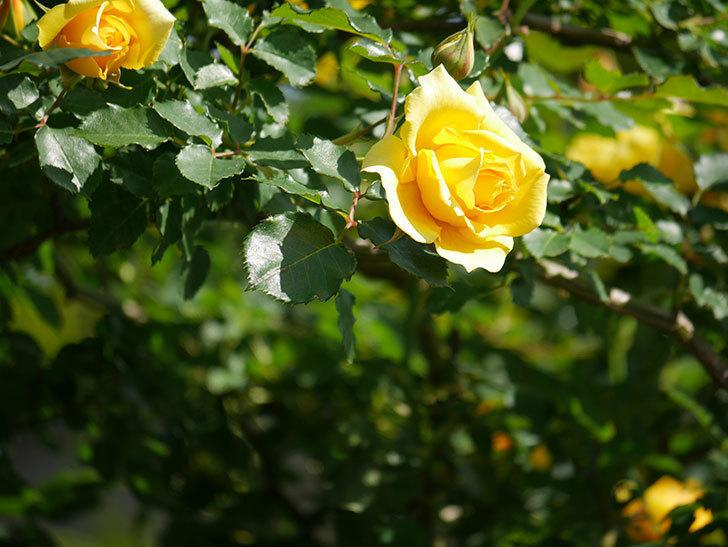 つるゴールドバニー(Gold Bunny Climbing)の花がたくさん咲いた。ツルバラ。2021年-014.jpg