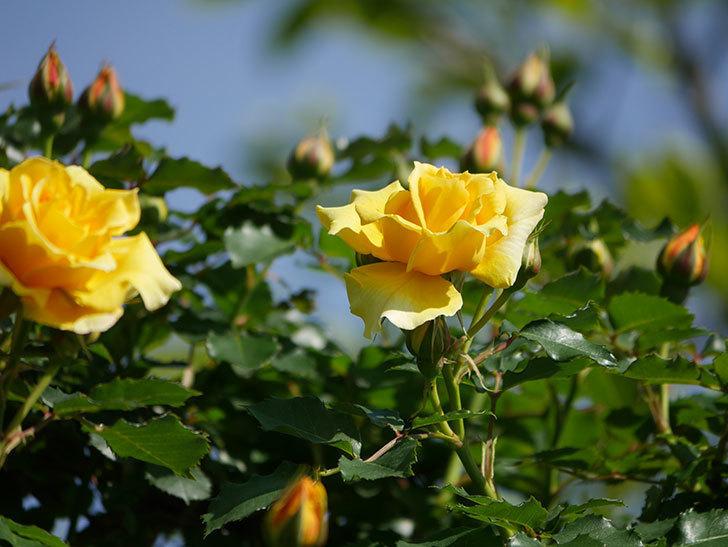つるゴールドバニー(Gold Bunny Climbing)の花がたくさん咲いた。ツルバラ。2021年-015.jpg