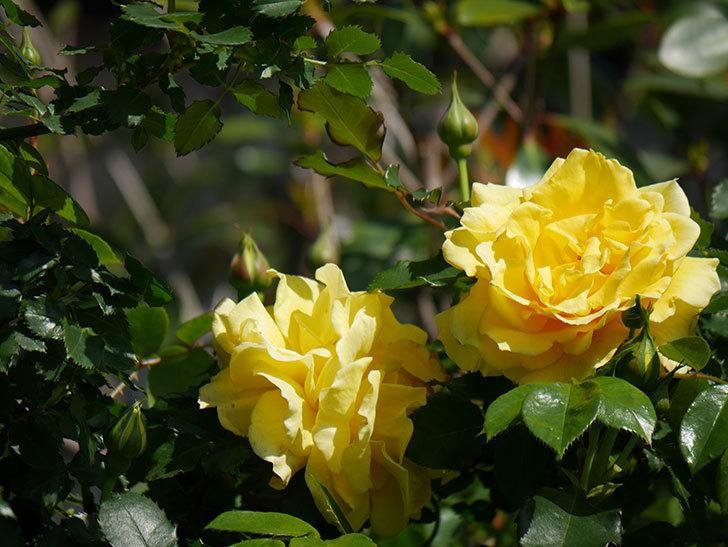 つるゴールドバニー(Gold Bunny Climbing)の花がたくさん咲いた。ツルバラ。2021年-017.jpg