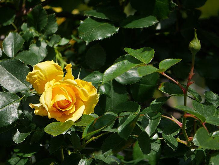 つるゴールドバニー(Gold Bunny Climbing)の花がたくさん咲いた。ツルバラ。2021年-018.jpg