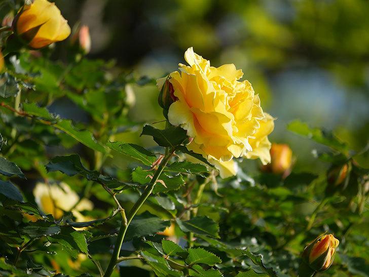 つるゴールドバニー(Gold Bunny Climbing)の花がたくさん咲いた。ツルバラ。2021年-019.jpg
