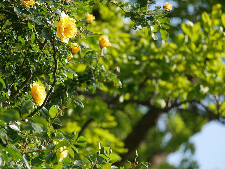 つるゴールドバニー(Gold Bunny Climbing)の花がたくさん咲いた。ツルバラ。2021年-020.jpg