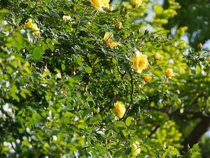 つるゴールドバニー(Gold Bunny Climbing)の花がたくさん咲いた。ツルバラ。2021年-021.jpg