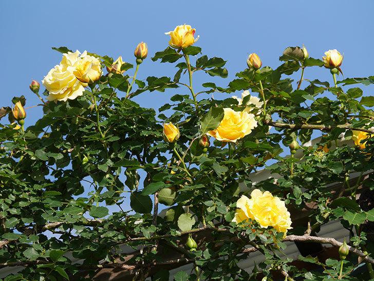つるゴールドバニー(Gold Bunny Climbing)の花がたくさん咲いた。ツルバラ。2021年-023.jpg