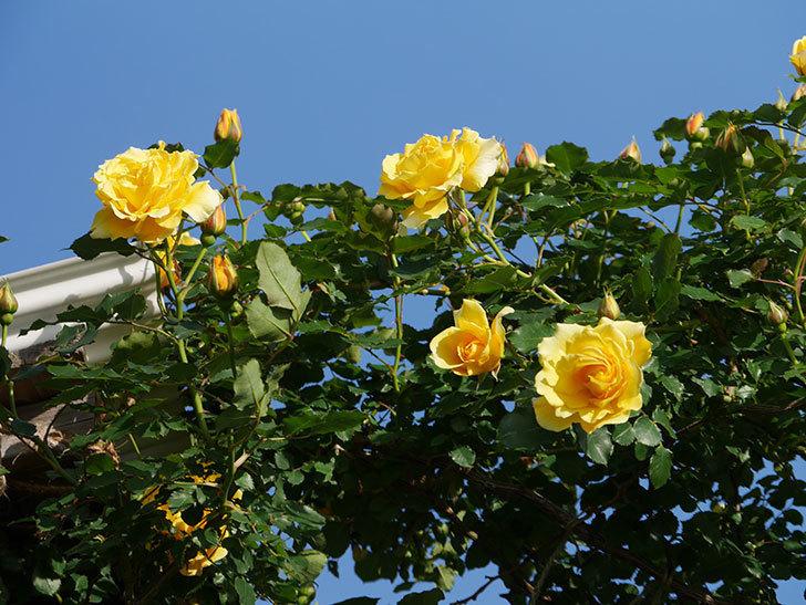つるゴールドバニー(Gold Bunny Climbing)の花がたくさん咲いた。ツルバラ。2021年-024.jpg