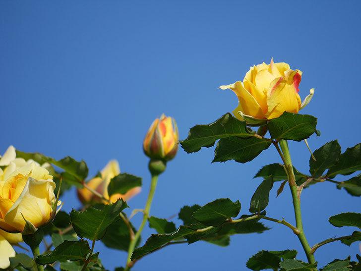 つるゴールドバニー(Gold Bunny Climbing)の花がたくさん咲いた。ツルバラ。2021年-025.jpg