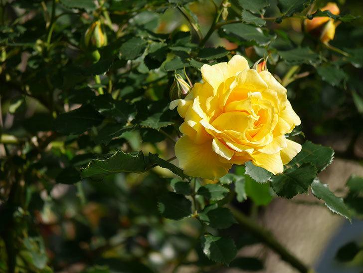 つるゴールドバニー(Gold Bunny Climbing)の花がたくさん咲いた。ツルバラ。2021年-027.jpg